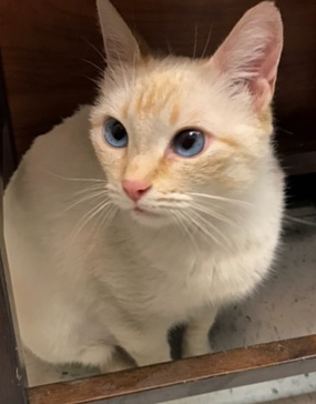 [picture of Ivanna, a Siamese Mix Flame point cat]