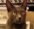 A picture of #ET01681: Italia a Russian Blue Mix blue