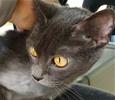 [picture of Italia, a Russian Blue Mix blue cat]