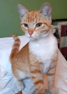 [another picture of Pancho, a Domestic Short Hair orange/white\ cat]