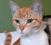 A picture of #ET01682: Pancho a Domestic Short Hair orange/white