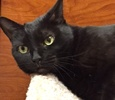 A picture of #ET01684: Bella a Domestic Short Hair black