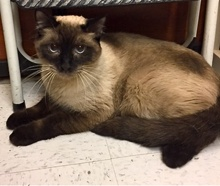 [another picture of Rokko, a Siamese seal point\ cat]