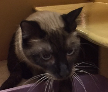 [picture of Rokko, a Siamese seal point cat]