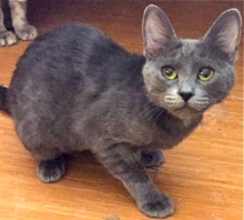 [another picture of Dawsyn, a Domestic Medium Hair blue tripod\ cat]