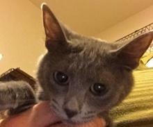 [picture of Dawsyn, a Domestic Medium Hair blue tripod\ cat]