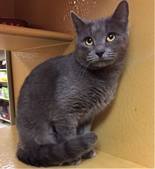 [another picture of Aniston, a Russian Blue blue\ cat]