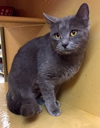 [picture of Aniston, a Russian Blue blue cat]