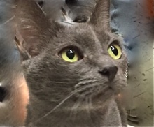 [picture of Aniston, a Russian Blue blue\ cat]
