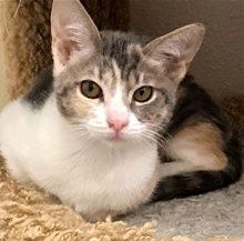 [picture of Precious, a Oriental Mix dilute calico cat]