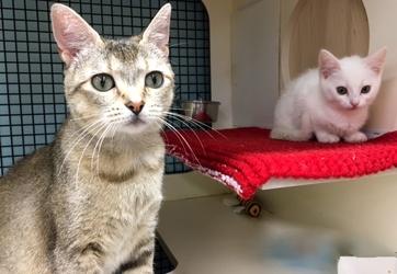 [picture of Silvia, a Singapura Silver tick cat]