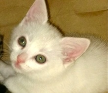 A picture of #ET01693: Meep a Domestic Short Hair white