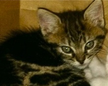 A picture of #ET01694: Merp a Domestic Short Hair black swirl tabby