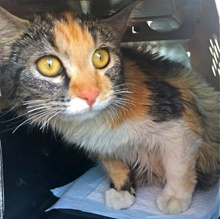 [another picture of Scarlett, a Domestic Long Hair calico\ cat]