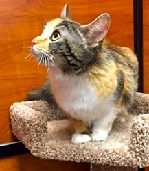 [picture of Scarlett, a Domestic Long Hair calico cat]