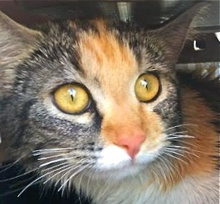 [picture of Scarlett, a Domestic Long Hair calico\ cat]