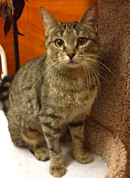 [picture of Kona AKA Shireen, a Domestic Short Hair brown tabby cat]