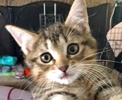 A picture of #ET01699: Musubi a Domestic Short Hair brown tabby