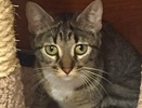 A picture of #ET01700: Betha a Domestic Short Hair brown/white tabby