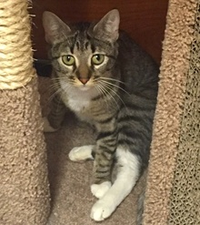 [another picture of Betha, a Domestic Short Hair brown/white tabby\ cat]