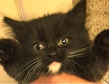 A picture of #ET01701: Gordon a Ragdoll Mix black/white tuxedo