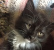 A picture of #ET01702: Maddie a Ragdoll Mix black/white tuxedo