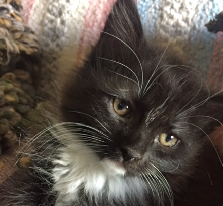 [picture of Maddie, a Ragdoll Mix black/white tuxedo\ cat]