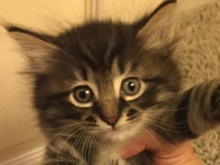 A picture of #ET01703: George a Ragdoll Mix brown tabby