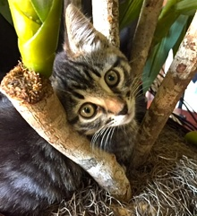 [another picture of Mimi, a Domestic Short Hair brown tabby\ cat]