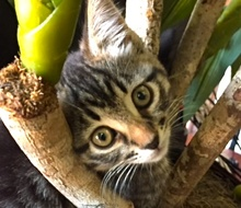 [picture of Mimi, a Domestic Short Hair brown tabby\ cat]