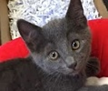 A picture of #ET01705: Jasper a Russian Blue Mix blue