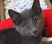 [picture of Jasper, a Russian Blue Mix blue\ cat]