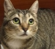 A picture of #ET01708: Dessa a Domestic Short Hair gray tabby w/bobtail