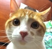 A picture of #ET01709: Allister a Domestic Short Hair orange/white