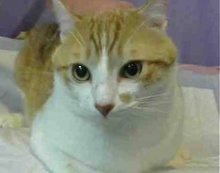 [picture of Allister, a Domestic Short Hair orange/white\ cat]