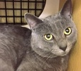 A picture of #ET01711: Tasman a Russian Blue Mix blue