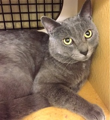 [another picture of Tasman, a Russian Blue Mix blue\ cat]