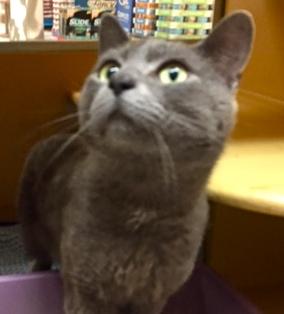 [picture of Tasman, a Russian Blue Mix blue cat]