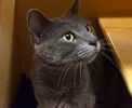 [picture of Tasman, a Russian Blue Mix blue cat]