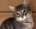 A picture of #ET01712: Reggie a Domestic Short Hair silver tabby