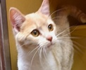 A picture of #ET01713: Lovey a Domestic Short Hair orange/white