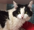A picture of #ET01714: Gypsy a Ragdoll Mix white/black