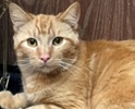 A picture of #ET01715: Niblet a Domestic Short Hair orange tabby