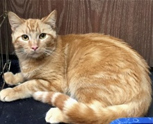 [another picture of Niblet, a Domestic Short Hair orange tabby\ cat]