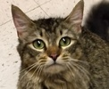 A picture of #ET01716: Curly Sue a Maine Coon-x gray tick