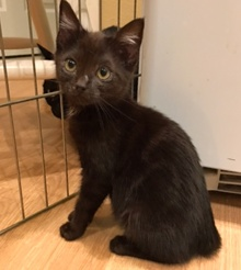 [another picture of Jasmine, a Domestic Short Hair black\ cat]