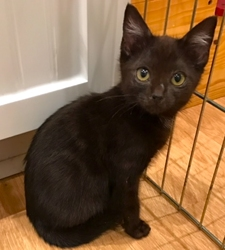 [picture of Jasmine, a Domestic Short Hair black cat]