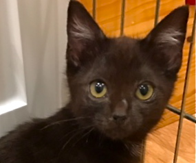 [picture of Jasmine, a Domestic Short Hair black\ cat]