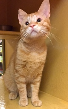 [another picture of Goldust, a Domestic Short Hair orange\ cat]