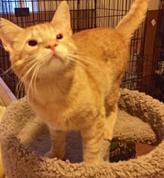 [picture of Goldust, a Domestic Short Hair orange cat]